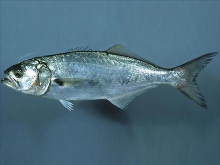 Hangi balık ne zaman yenir? galerisi resim 20