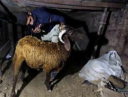 Gazzeliler kurbanı tünellerden taşıyor