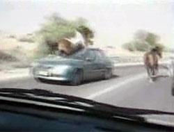 Otomobil ata çarpınca... Video