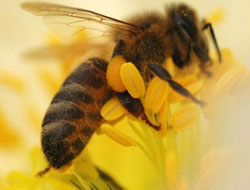 Arılar kansere çare mi oluyor?