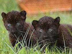İkiz kara panterler dünya ile tanıştı