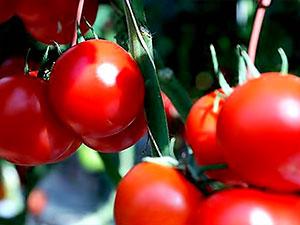 Ukrayna 38 ton domatesi Türkiye'ye geri gönderdi