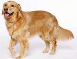 Kanseri köpekler teşhis edecek