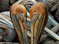 BP, petrol'le öldürmeye devam ediyor!