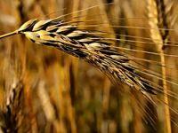 1 milyon ton buğday ithal edilecek