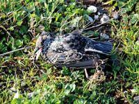 Bursa'ya gökten ölü kuş yağdı!