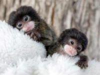 İkiz maymunlar