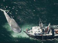 Dev balinanın trajik ölümü