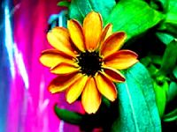 Uzay'da yetişen ilk çiçek: Zinya çiçeği